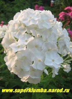 Флокс метельчатый ПАНАМА (Phlox paniculata Panama) Старинный сорт. С, 80/3.2. Чисто белый с зеленоватой трубкой, диаметр цветка 3,5 см , соцветие крупное, плотное овально-коническое, цв. июль-август, высота до 80см, хорошо разрастается, очень надежный и неприхотливый. ЦЕНА 200 руб (1 шт)  или   400 руб (кустик: 3-4 шт)
