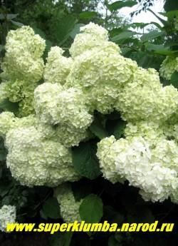 """ГОРТЕНЗИЯ ДРЕВОВИДНАЯ """"Стерилис"""" (Hydrangea arborescens """"Sterilis"""") Самая крупная и шикарная из древовидных гортензий. Огромные и  очень   густые, полушаровидные соцветия, до 30 см в диаметре из  крупных белых стерильных цветков диаметром 2-3 см, часто своей тяжестью сгибают ветки. Неприхотлива, в укрытии на зиму не нуждается, высота до 1,3 м, отличается исключительно обильным и продолжительным цветением с июля по октябрь, ЦЕНА 400-1500 руб (цветущие 4-10 летние кусты)"""