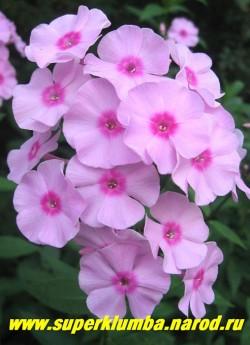 Флокс метельчатый СИТЦЕВЫЙ ? С, 80/3,7. Светло-розовый с ярким малиновым глазом, не выгорает, соцветие средних разрезов довольно плотное, неприхотлив и зимостоек, очень популярен. ЦЕНА 350 руб (кустик: 3-4 шт)
