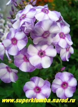 Флокс метельчатый МАРГРИ (Phlox paniculata Margri) Шаронова 1950, СП, 80/4.2. Выдающийся трехцветный сорт! Цветок колесовидный, бело-фиолетовый с малиновым глазком. Соцветие округлое, очень плотное.ЦЕНА 250 руб (1 шт) или 500 руб  (куст: 3-4 шт)