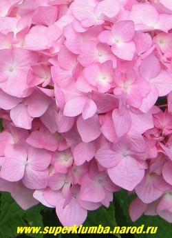 """цветы ГОРТЕНЗИИ САДОВОЙ """"РОЗОВОЙ"""" (Hydrangea macrophylla) крупным планом. В зависимости от кислотности почв можно менять окраску цветков. Для получения голубых и синих соцветий необходимо вносить в почву соли железа или алюмо-калиевые или аммиачно-калиевые квасцы. ЦЕНА 400-1200 руб (цветущие  3-6 лет. кусты)"""