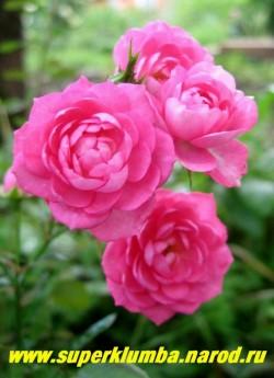 """РОЗА №1 """"плетистая розовая""""  на кисти от 5-ти и более цветов диаметром 4-5см, красивый разворот лепестков, неприхотливая, хорошо смотриться на шпалере. Цветет на прошлогодних побегах, которые необходимо снимать со шпалеры и прикрывать на зиму. НЕТ  В ПРОДАЖЕ"""