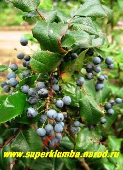 Ягоды МАГОНИИ ПАДУБОЛИСТНОЙ (Мahonia aquifolia) съедобны, листья осенью краснеют. ЦЕНА 250-500 руб (3-5 летки)