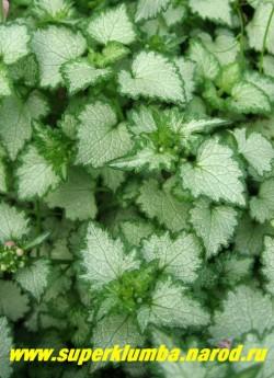 """ЯСНОТКА КРАПЧАТАЯ """"Пинк Перл"""" (Lamium maculatum ''Pink Pearl'') серебряные листья с зеленой каймой по краю,Стебли лежачие, сильно ветвящиеся, нежно- розовые цветы, цветет май-июнь, выс. 5-10 см, с цветоносами до 20 см. ЦЕНА 150-200 руб (1дел)"""