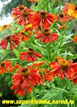 """ГЕЛЕНИУМ ОСЕННИЙ """"КРАСНЫЙ"""" (Helenium autumnale) цветы ярко-красные иногда с незначительными вкраплениями желтых тонов , куст прочный высота до 130 см, цветёт с августа 40-45 дней. ЦЕНА 200 руб (шт)"""