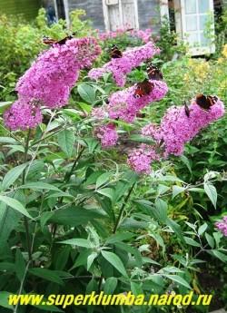 """На фото цветущий куст БУДДЛЕИ ДАВИДА """"Фэсцинэйтинг"""" . Цветы буддлеи имеют медовый аромат и всегда на ее соцветиях собираются разнообразные бабочки, за что она получила название """"Магнит для бабочек"""". В бесснежные суровые зимы подмерзает до уровня снега, поэтому на зиму укрывают основание куста. Отрастающая поросль успешно процветет. НЕТ В ПРОДАЖЕ"""
