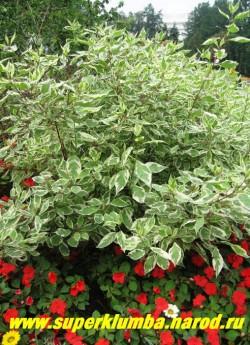 """ДЕРЕН БЕЛЫЙ """"Серебристоокаймленный"""" (Сornus alba f. aigenteo-marginata)  Листопадный кустарник до 3,5 м высотой, с тонкими гибкими, красного цвета ветвями и бело-зеленой листвой, Замечательный неприхотливый морозостойкий и высокодекоративный кустарник. НЕТ В ПРОДАЖЕ"""