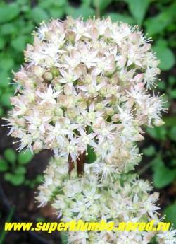 ОЧИТОК БЛЕДНЕЮЩИЙ (Sedum pallescens) Редкий в коллекциях, но красивый очиток. Цветет округлыми соцветиями из белых цветов в июле-сентябре. Стебли прямые, темно-пурпурные, формируют куст высотой 20-30 см. Неприхотлив, но предпочитает светлое солнечное место. ЦЕНА 150-200 руб. (1 деленка)