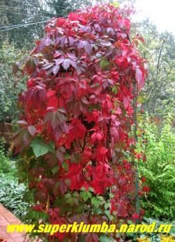 осенью листва ДЕВИЧЬЕГО ВИНОГРАДА ПЯТИЛИСТОЧКОВОГО (Parthenocissus quinquefolia) становится огненно-красной . Это один из ценнейших видов для вертикального озеленения благодаря способности закрепляться на отвесных поверхностях и быстро декорировать неприглядные места. ЦЕНА 200-300 руб,(3-5 летки)