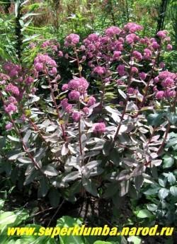 """ОЧИТОК ГИБРИДНЫЙ """"розово-голубой"""". Цветущий куст. Цветет в июле-сентябре округлыми ярко-розовыми соцветиями, выходящими из каждого междоузлия. ЦЕНА 200-250 руб (1 деленка)"""