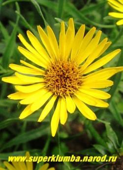 цветок крупным планом ДЕВЯСИЛА МЕЧЕЛИСТНОГО (Inula ensifolia) Как и у всех девяслов центр цветка меняет свой цвет от желтого в начале роспуска до коричневатого в конце. РЕДКОЕ ! НЕТ  В ПРОДАЖЕ