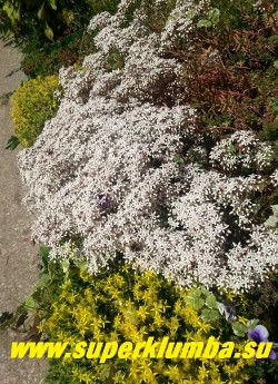 ОЧИТОК БЕЛЫЙ «АТРОПУРПУРЕУМ» (Sedum album f. atropurpureum)  Соцветие метельчатое на вертикальных красноватых цветоносах высотой 10-15см. Цветки бело-розовые звездчатой формы с пурпурными пыльниками , около 10 мм в диаметре. Цветет в июне-июле белым ковром очень обильно.   НОВИНКА!ЦЕНА 150-200 руб (1 деленка)