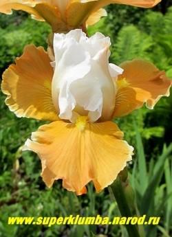 Ирис ЭПРИКОТ ФРОСТИ (Iris Apricot Frosty) белоснежные верхние лепестки и темно-абрикосовые нижние, бородка абрикосовая, лепестки гофрированные. Высота 60-70 см. Награды: НМ-94, АМ-96, КМ-00. Среднего срока цветения. НОВИНКА! ЦЕНА 350 руб  НЕТ В ПРОДАЖЕ