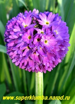 """Примула мелкозубчатая """"ФИОЛЕТОВАЯ"""" (Primula denticulata) высота до 20 см, цветет апрель-май, ЦЕНА 250 руб (штука)"""