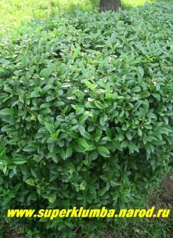 БИРЮЧИНА ОБЫКНОВЕННАЯ (Ligustrum vulgare) Листопадный, густоветвистый кустарник до 5 м (если не стричь) высотой. Листья яйцевидные кожистые, темно-зеленые, Прекрасно поддается стрижке, Хорошая альтернатива самшиту, который у нас часто вымерзает. ЦЕНА 350 руб НЕТ НА ВЕСНУ