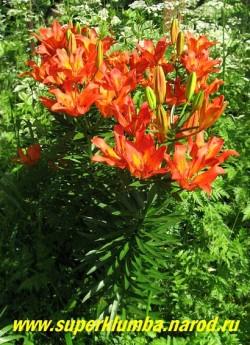 Лилия ДАУРСКАЯ (Lilium dаhuricum)  Красивая видовая лилия с кубковидными оранжево-красными с желтым горлом цветами без запаха, до 25 цветков на цветоносе, Цветет раньше всех в июне 16-20 дней, высота до 100 см.  ЦЕНА 300 руб (1 шт)