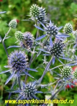 СИНЕГОЛОВНИК ПЛОСКОЛИСТНЫЙ (Еryngium planum) предпочитают открытые солнечные места с хорошо дренированными грунтами, известь ( молотая яичная скорлупа )способствует более яркому синему окрашиванию соцветий. Прекрасно смотрится синеголовник в групповых посадках или одиночно и особенно в зимних букетах. ЦЕНА 150-200 руб