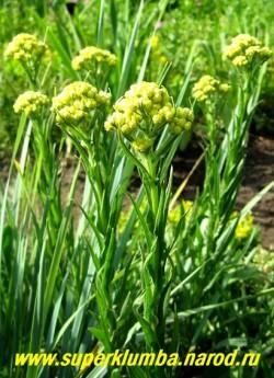 БЕССМЕРТНИК ПЕСЧАНЫЙ (Helichrysum arenarium) Лекарственное растение с многочисленными побегами высотой 10— 50 см, покрытыми мелкими серебристо-серыми ланцетными листьями. Верхушки побегов увенчаны крупными щитками из мелких желто-оранжевых соцветий. Цветет с июля по октябрь . НОВИНКА! ЦЕНА 150 руб