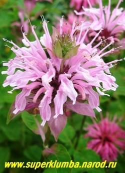 """МОНАРДА № 11 """"сиренево-розовая двойчатая"""" (Monarda х hybrida) , сиренево-розовые цветы в собранные в 2-х или 1-но ярусные головчатые соцветия , ароматные листья (пряность) высота до 1м, цветет в июле-августе 50 дней .  ЦЕНА 250 руб (1дел)"""
