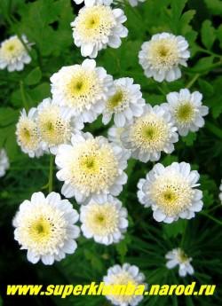 """ПИРЕТРУМ ДЕВИЧИЙ """"Сноу паффс"""" (Matricaria eximia """"Snow puffs"""")  Соцветия махровые лимонно-белые округлые, имеют юбочку из белых коротких, широких язычковых цветков, высота 60 см, цветет июль-август, в Подмосковье выращивается как 2- летник, но легко возобновляется самосевом. НЕТ  В ПРОДАЖЕ"""