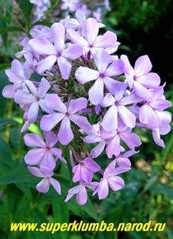 Флокс метельчатый СИРЕНЬ (Phlox paniculata Siren) С, 100-120/ 2.5-3.0. Сиренево-розовые с посветлением в центре звездчатые цветки диаметром 2см., собраны в ветвистые, крупные ажурные соцветия , Очень похожие на соцветие сирени. Цветет очень обильно. Популярен из-за своей оригинальности, Высота 80см. Среднепоздний. НОВИНКА! ЦЕНА 200 руб (1 шт) НЕТ НА ВЕСНУ.