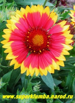 """ГАЙЛЛАРДИЯ КРУПНОЦВЕТКОВАЯ """"ГОБЛИН"""" (Gaillardia grandiflora """"Goblin"""")  цветы крупным планом, диаметр цветка 5-6 см.Все гайлардии светолюбивы, предпочитают легкие, сухие почвы, на сырых местах могут выпревать. ЦЕНА 200 руб (1 шт)"""