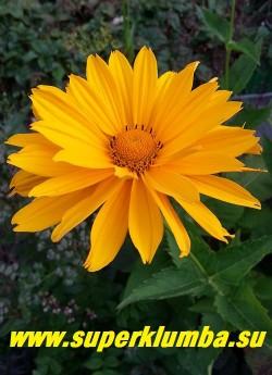 """ГЕЛИОПСИС ПОДСОЛНЕЧНИКОВОВИДНЫЙ  """"ВЕНУС"""" (Heliopsis  helianthoides var. scabra 'Venus')  цветок крупным планом.  НЕТ В ПРОДАЖЕ"""