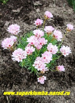 АРМЕРИЯ ДЕРНИСТАЯ (Armeria juniperifolia) миниатюрные сизые розетки с игольчатыми листьями образуют плотную подушку высотой 3-4 см. Цветы светлосиреневые собраны в головчатые соцветия на невысоких 5-6 см цветоносах. Цветет очень обильно с июля 40-45 дней .  НЕТ  В ПРОДАЖЕ
