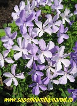 """ФИАЛКА РОГАТАЯ """"сиренево-голубая"""" (Viola cornuta)  стабильный многолетник, образует кустики высотой 15- 20 см, цветет весь сезон крупными сиренево-голубыми цветами, ЦЕНА 200-250 руб  (1 дел) НЕТ НА ВЕСНУ"""