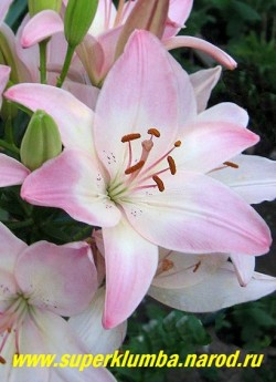 Лилия МАРЛЕН (Lilium   Marlen) Цветок крупным планом. Диаметр цветка 9-10см.   ЦЕНА 300-400 руб