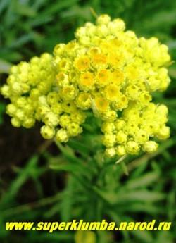 соцветие БЕССМЕРТНИКА ПЕСЧАНОГО (Helichrysum arenarium) крупным планом. Прекрасно растет на бедных, засушливых почвах. Высушенные соцветия хорошо подходят для сухих букетов. Высушенная трава является ценным лекарственным сырьем и предохраняет вещи от моли. НОВИНКА! ЦЕНА 150 руб