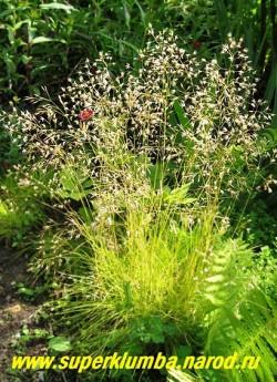 """цветет ЛУГОВИК ИЗВИЛИСТЫЙ """"Татра голд"""" или ЩУЧКА (Deschampsia flexuosa """"Tatra gold"""") цветет в июле кружевными светло-бронзовыми соцветиями на высоких цветоносах , напоминающие """"кукушкины слезки"""" . ЦЕНА 300 руб ( кустик)"""