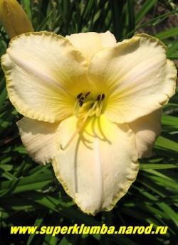 Лилейник ВАЙТ ДРОП (Hemerocallis White drop) огромные сливочно-белые цветы с лимонными горлом и тонкой окантовкой по краю лепестка, диаметр цветка 15-16 см, цветение июль-август, высота до 60 см, ЦЕНА 250 руб (1шт)