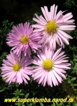 """АСТРА КУСТАРНИКОВАЯ """"Питер пен"""" (Aster dumosus """"Piter Pan"""") нежно-розовая, диаметр цветка 3,5 см, высота до 30 см, цветет с конца августа по октябрь, НОВИНКА! ЦЕНА 170 руб  (1 делёнка)"""