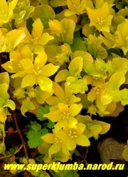 """цветет ВЕРБЕЙНИК МОНЕТЧАТЫЙ """"Ауреа"""" (Lysimachia nummularia ''Aurea'') цветы многочисленные ярко-желтые крупные (диаметр 2-2,5 см) Цветет в июне 15-20 дней . Хорошо декорирует отвесные края водоемов, горок. На солнце желтая окраска листвы ярче, но может расти и в тени. ЦЕНА 200 руб (дел)"""
