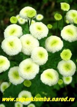 """ПИРЕТРУМ ДЕВИЧИЙ """"Снежный шар"""" (Matricaria eximia """"Snow boll"""") Множественные белые махровые соцветия 2 см в диаметре , похожие на пуговицы , высота 40-50 см, цветет июль- август, в Подмосковье выращивается как 2- летник, но легко возобновляется самосевом.  НЕТ  В ПРОДАЖЕ"""