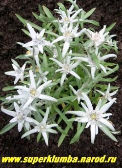 ЭДЕЛЬВЕЙС АЛЬПИЙСКИЙ (Leontopodium alpinum)  невысокие серебристого цвета кустики выс. 15-20см, Цветочные корзинки окружены декоративными беловато-серебристыми листьями, цветет июль-август, Знаменитое растение! ЦЕНА 200-250 руб (деленка)
