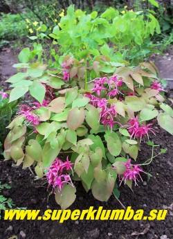 """ГОРЯНКА КРУПНОЦВЕТКОВАЯ """"Кримсон бьюти"""" (Epimedium grandiflorum """"Crimson beauty"""") очень красивый сорт с   малиновыми крупными цветами на невысоком 20-25 см кустике. Цветет в мае- июне.  ЦЕНА 500 руб   (1 делёнка)"""