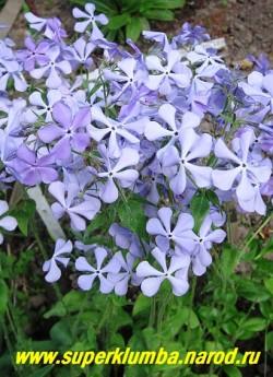 """ФЛОКС РАСТОПЫРЕННЫЙ """"Вайолет квин"""" (Phlox divaricata """"Violet Queen"""") цветы голубые с фиолетовым оттенком,   высота с цветоносами до 40 см, цветет с мая по июнь 25-30 дней , можно использовать на срезку, НОВИНКА! ЦЕНА 150-200 руб (1 дел.)"""