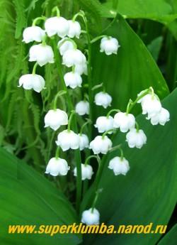 """ЛАНДЫШ МАЙСКИЙ """"Крупноцветковый"""" (Convallaria majalis """"Grandiflora"""")   крупноцветковая садовая форма любимого всеми растения. Цветет май-начало июня, Ароматные цветы на прочных прямых цветоносах, хорошо стоит в срезке.  ЦЕНА 150 руб ( 4 шт)"""