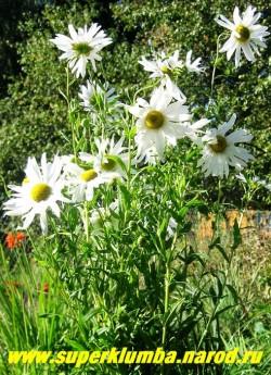 РОМАШКА ОСЕННЯЯ или НИВЯНИК ПОЗДНИЙ (Leucanthemum serotina) эта крупная до 2-х метров высотой ромашка пока очень редка в наших садах. Куст устойчивый, мощный, не требует подвязки.  ЦЕНА 250-350 руб (делёнка)