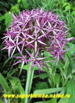 ЛУК ХРИСТОФА (Allium christophii) декоративный лук с крупными до 3см в диаметре звездчатыми цветками сиреневого цвета с металлическим блеском, собранными в огромные ажурные соцветия. Цветет в июне 30 дней. Высота до 60 см . Незаменим для сухих букетов! НОВИНКА!  НЕТ В ПРОДАЖЕ