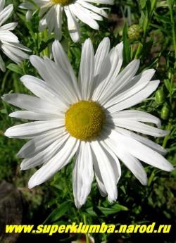 РОМАШКА ОСЕННЯЯ или НИВЯНИК ПОЗДНИЙ (Leucanthemum serotina) Крупные белоснежные цветы диаметром 8-10 см, раскрываются в конце августа, прекрасно стоят в срезке, раскрываясь до последнего цветка, высота 1,5-2 м.  ЦЕНА 300-350 руб (делёнка)