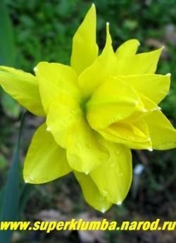 """Нарцисс """"ГОЛДЕН ДАКЕТ"""" (Narcissus """"Golden Ducat"""") Махровый. Густомахровый нарцисс с ярко-желтыми лепестками, заостренными к белоснежным кончикам, коронка отсутствует. Мощный, отличная срезка. Высота 45-65 см,  ЦЕНА 100 руб (1 шт) НЕТ НА ВЕСНУ"""