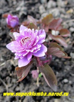 """АНЕМОНЕЛЛА ВАСИЛИСТНИКОВАЯ """"Оскар Шоаф"""" (Anemonella thalictroides """"Oscar Schoaf"""") в начале вегетации листва имеет розово- малиновую окраску. Предпочитает плодородные перегнойные почвы и полутень. Не любит застоя влаги. ЦЕНА 1500 руб (делёнка) . НЕТ НА ВЕСНУ"""