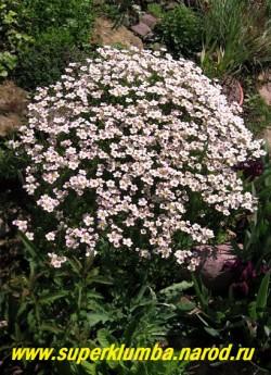 """КАМНЕЛОМКА АРЕНДСА """"розовая"""" (Saxifraga x arendsii)  Цветки до 1,5 см в диаметре розовые, светлеют по мере отцветания. Цветет в мае-июне очень обильно. ЦЕНА 150-200 руб (7-12 розеток)"""