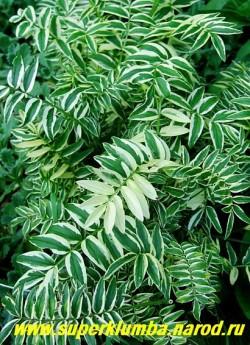 СИНЮХА ГОЛУБАЯ пестролистная (Polemonium caeruleum f. variegata),  чрезвычайно декоративный пестролистник с крупными, непарноперистыми листьями, расположенными в очередном порядке, высота с цветоносами до 60 см, ЦЕНА 300 руб (1шт)