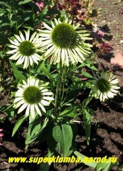 """куст эхинацеи """"ДЖЕЙД"""" (Echinacea """"Jade"""") Цветки с темно-зелёным центром и не поникающими зеленовато-белыми лепестками. Настоящий нефрит! Высота 60 см.  ЦЕНА 250 руб (делёнка)"""