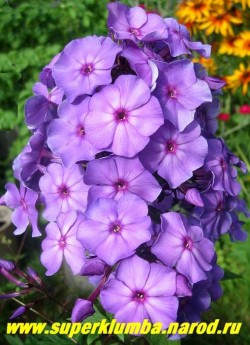 Флокс метельчатый БЛУ ПАРАДАЙС (Phlox paniculata Blue paradise) Голландия, С, 80-90/4. Фиолетово-голубой с пурпурным глазком и посветлением к центру. В пасмурную погоду, в тени и вечером голубой. Очень красивый сорт. ЦЕНА 250 руб (1 шт) или 550 руб (кустик: 3-4 шт)