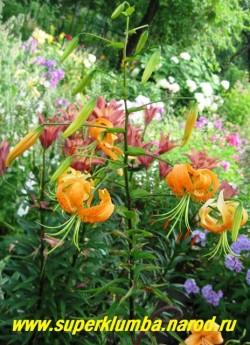 Лилия ГЕНРИ (Lilium Henryi) Цветки чалмовидные 6-8 см, желтовато-оранжевые, с зеленой полоской по центру лепестка. Лепестки с реснитчатыми выростами на внутренней стороне, сильно отогнуты назад , тычинки очень длинные. В соцветии до 20 цветков. Зимостойкая и неприхотливая. Высота до 140 см. НОВИНКА!    НЕТ В ПРОДАЖЕ.